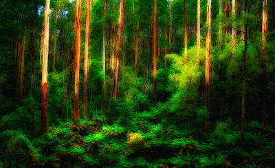 Birch Forest along Great Ocean Road