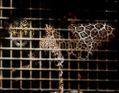 Caged Jaguar!