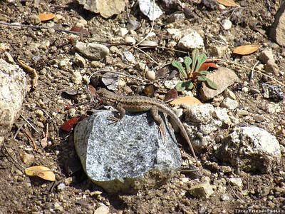 IMG_8996_Lizard