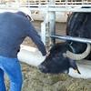 Paestum: Tenuta Vannulo: Jeff petting a feeding Water Buffalo