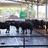 Paestum: Tenuta Vannulo: Water Buffalo feeding in open-air barn
