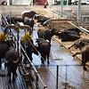 Paestum: Tenuta Vannulo: Water Buffalo at massage station and resting