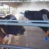Paestum: Tenuta Vannulo: Two Water Buffalo enjoying spray