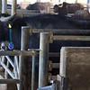 Paestum: Tenuta Vannulo: Water Buffalo at gate