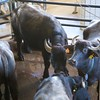 Paestum: Tenuta Vannulo: Water Buffalo in pen before milking station