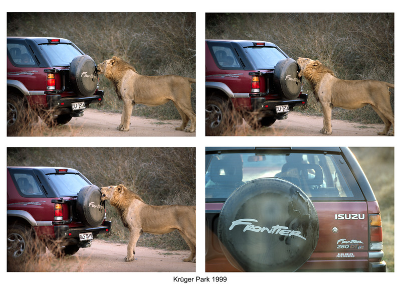 South Africa 1999: Lion chewing on a spare tire cover. Shot through car window.