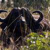 South_Africa_Cape_Buffalo_03