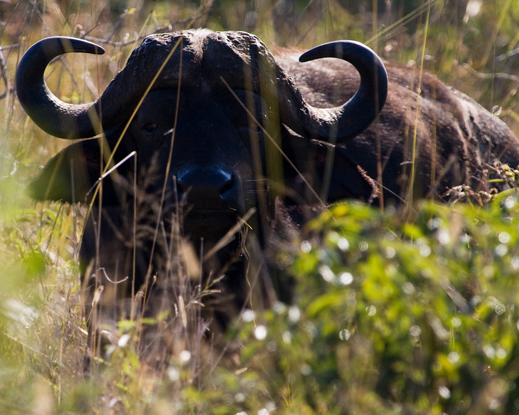 South_Africa_Cape_Buffalo_01