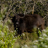 South_Africa_Cape_Buffalo_04