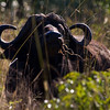 South_Africa_Cape_Buffalo_02