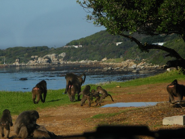 021 Baboons by the Road