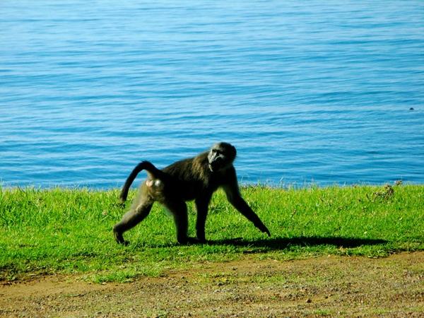 022 Baboon
