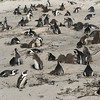 017 Penguins at Boulders Beach