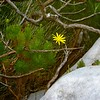 047 Lonely Flower on Table Mountain