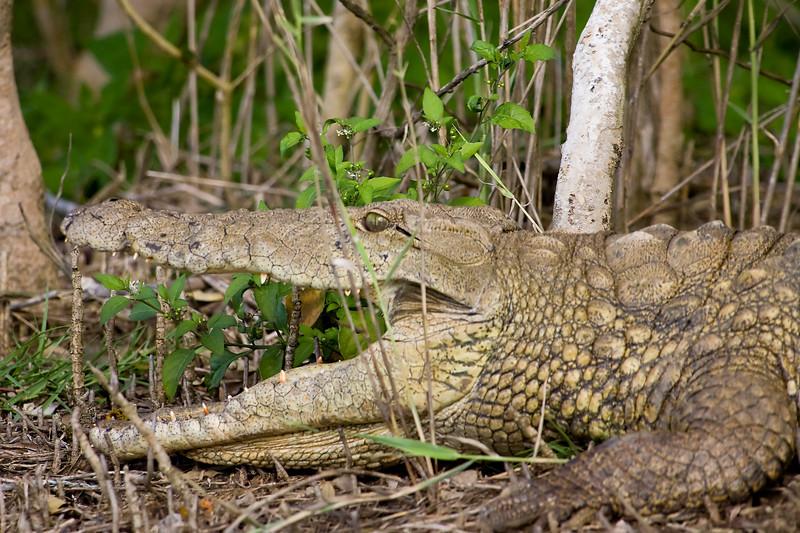 South_Africa_Crocodile_06