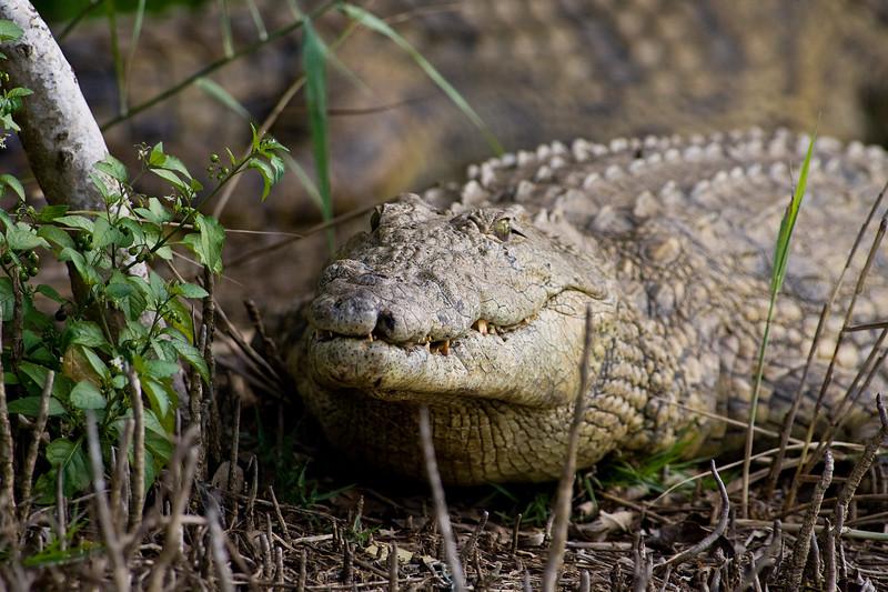 South_Africa_Crocodile_03
