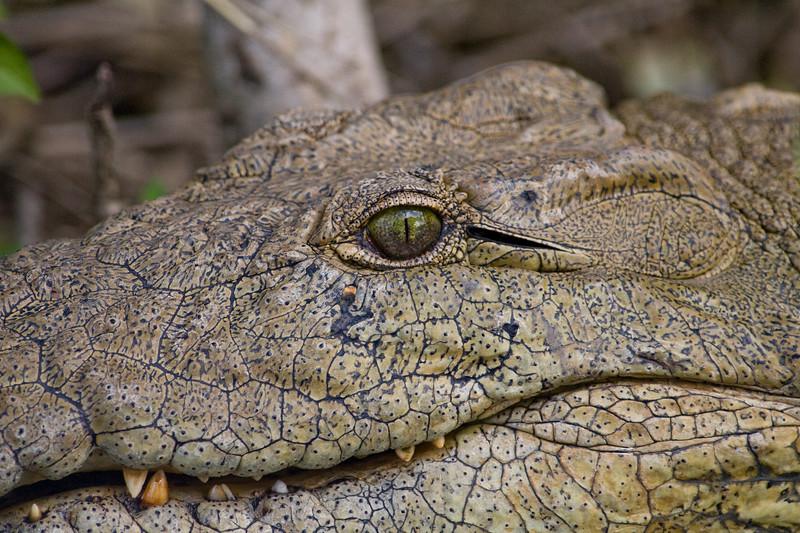 South_Africa_Crocodile_05
