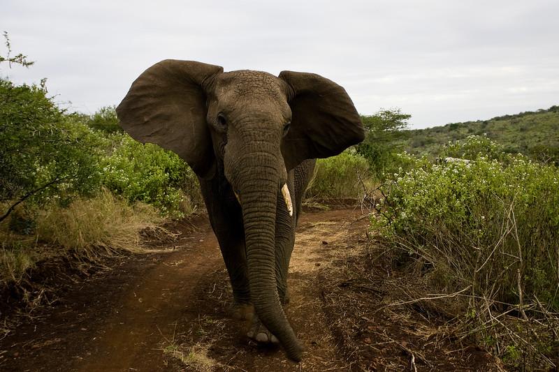 South_Africa_Elephant_05