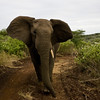 South_Africa_Elephant_05