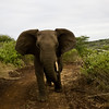South_Africa_Elephant_04