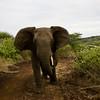 South_Africa_Elephant_04