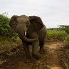 South_Africa_Elephant_07