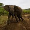 South_Africa_Elephant_08