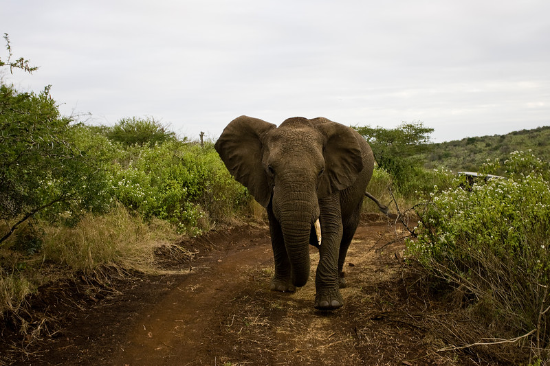 South_Africa_Elephant_02