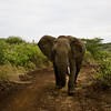 South_Africa_Elephant_02