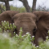 South_Africa_Elephant_20