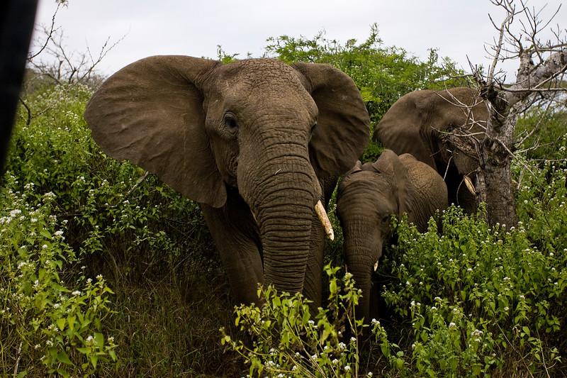South_Africa_Elephant_17