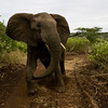 South_Africa_Elephant_06