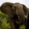 South_Africa_Elephant_16