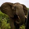 South_Africa_Elephant_16