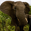 South_Africa_Elephant_15