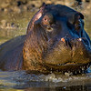 South_Africa_Hippo_06