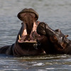 South_Africa_Hippo_12