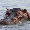 South_Africa_Hippo_16