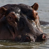 South_Africa_Hippo_18