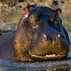 South_Africa_Hippo_07