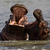 South_Africa_Hippo_11