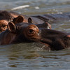 South_Africa_Hippo_17