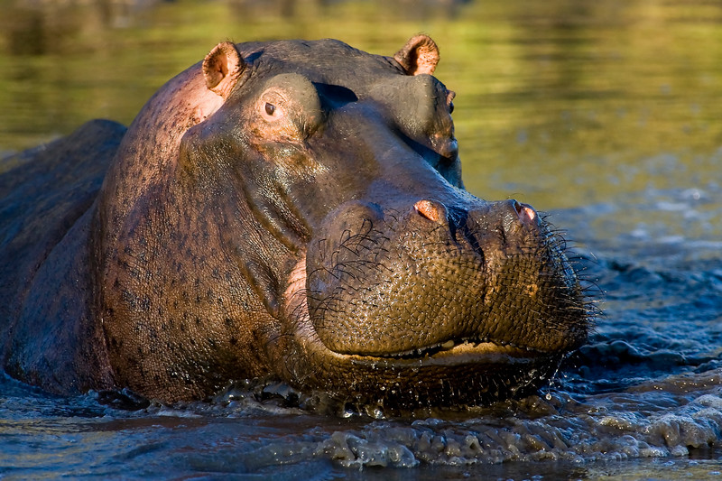 South_Africa_Hippo_09