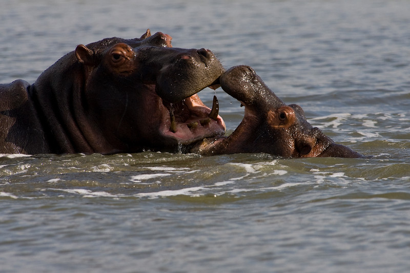 South_Africa_Hippo_10