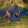 South_Africa_Hippo_03