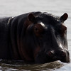 South_Africa_Hippo_19