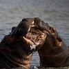 South_Africa_Hippo_13