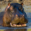 South_Africa_Hippo_08