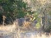 047 Shy Kudu