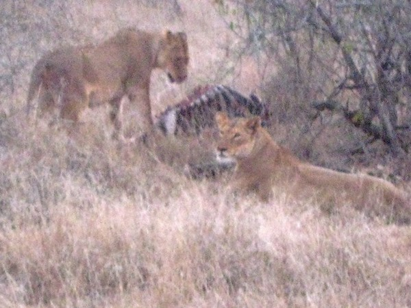 108 Laurie's Lions with the Kill